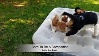 Funny Fight  Cavalier King Charles Spaniel | Exotic Dog Breed