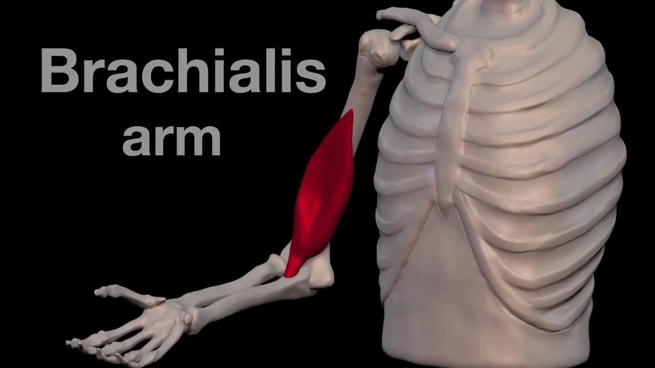 Arm Muscles: 15 Brachialis - YouTube