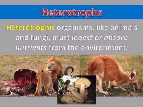 Comparing Kingdoms - Autotrophs vs Heterotrophs