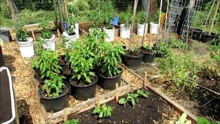 Video Tomato Pruning, Kale Fix, Cucumber & Zucchini Planting: Community Garden 2017 (3) download MP3, 3GP, MP4, WEBM, AVI, FLV September 2017