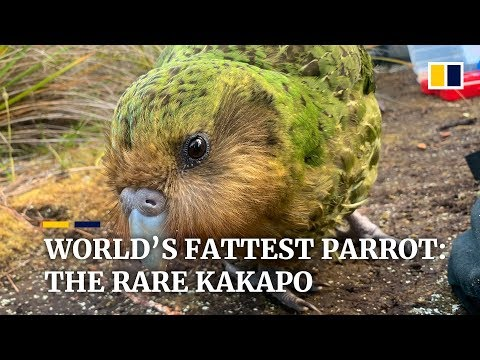 Hope for 'world's fattest' parrot as endangered kakapo have record-breaking breeding season