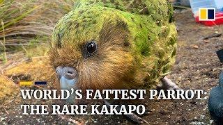 hope-for-world-s-fattest-parrot-as-endangered-kakapo-have-record-breaking-breeding-season