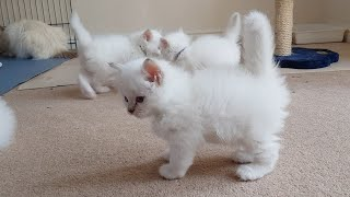 Birman Kittens Lilac Litter  From birth to new homes VLOG #8