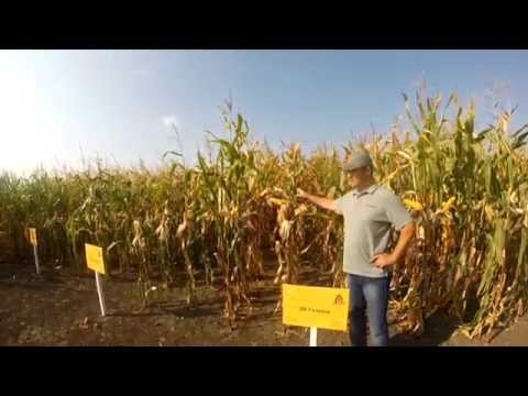 Гібрид кукурудзи - ДН Галатея, характеристика.
