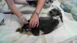 Amazing Birthing Of Schnauzer Puppies. Part 1