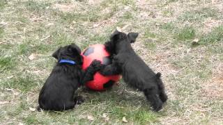 Miniature Schnauzers - Cocoa And Hunter Play Soccer
