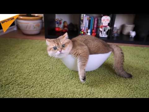 Meet Hosiko, An Adorable Scottish Straight Cat