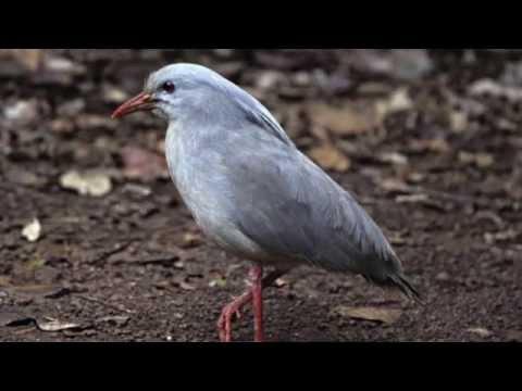 Kagu - The Endangered bird
