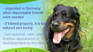 The Strong And Hardy Rottweiler