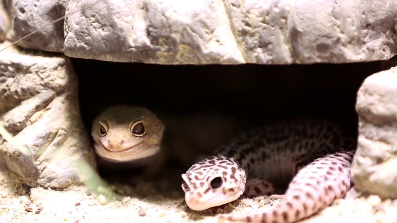 Pequeñas estampas: gecko leopardo - YouTube