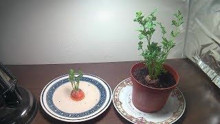 How To Grow Carrot Tops (With Time lapse)