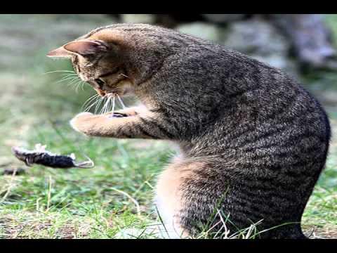 european shorthair cats