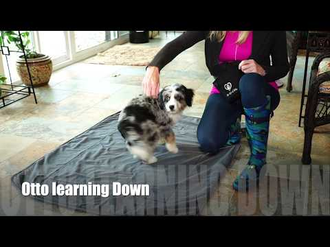 AussiePoo Training Down