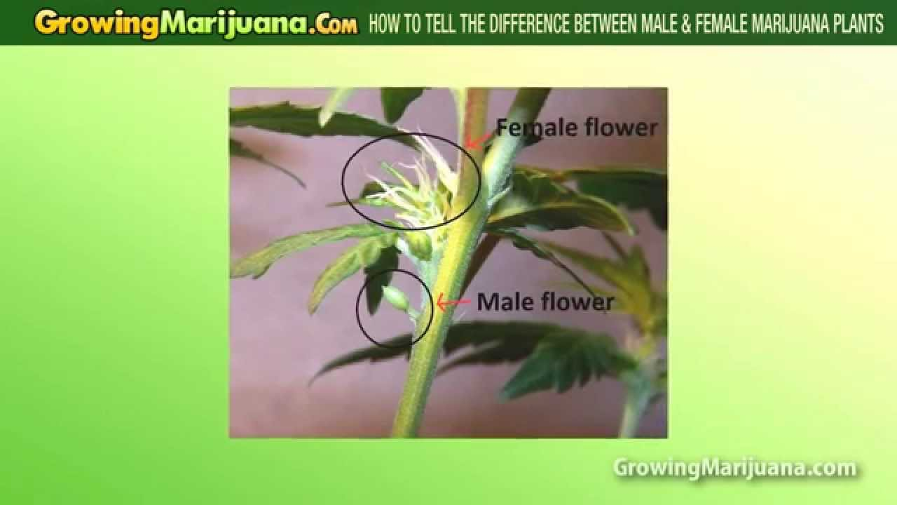 How To Tell The Difference Between Male  Female Cannabis -4189