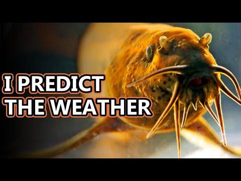Weatherfish Facts: Aka Stormbringer   Animal Fact Files