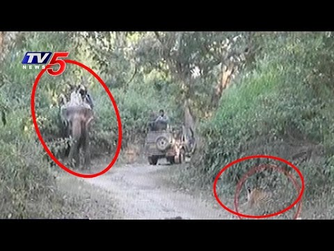 Tiger Attacks on Tourists at Gir National Park | Gujarat | Telugu News | TV5 News