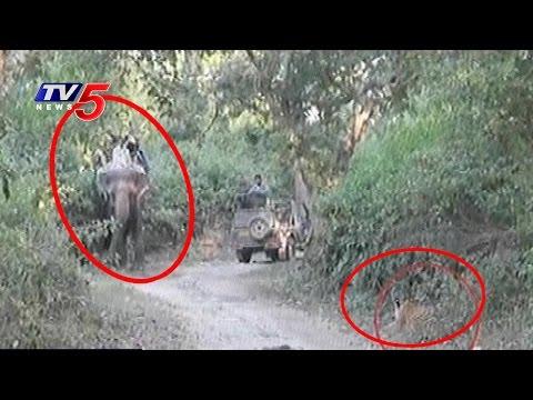Tiger Attacks on Tourists at Gir National Park | Gujarat | Telugu News | TV5 News