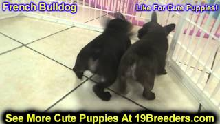 French Bulldog, Puppies, For, Sale, In, New York, City, Ny, Albany, State, Up