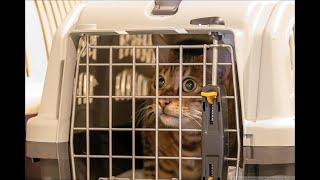 Кот мяукает в переноске в Шереметьево
