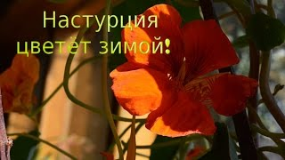 видео Настурция - неприхотливое растение для сада и балкона