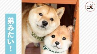 柴犬さんの隣にいるぬいぐるみ、実は…子供の頃にそっくり。ふたりで寄り添う姿がキュートすぎる…