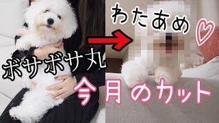 ボサボサ丸→わたあめ♡  〜今月のカット ビション9ヶ月!〜