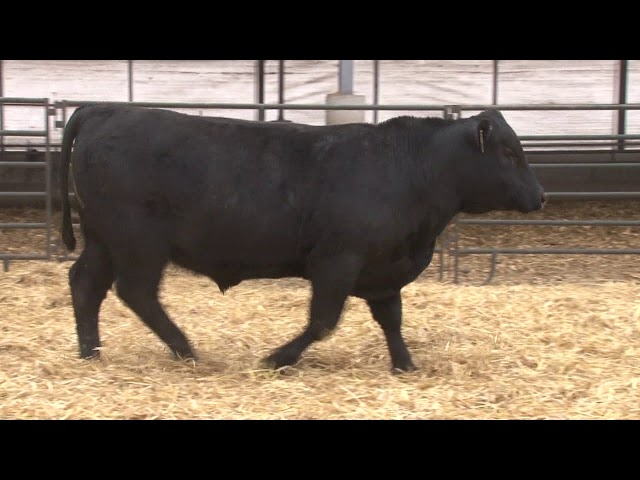Schiefelbein Angus Farms Lot 346