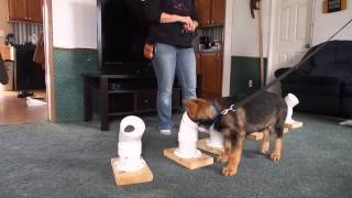 12 Week Old Puppy Nacotics Detection Training