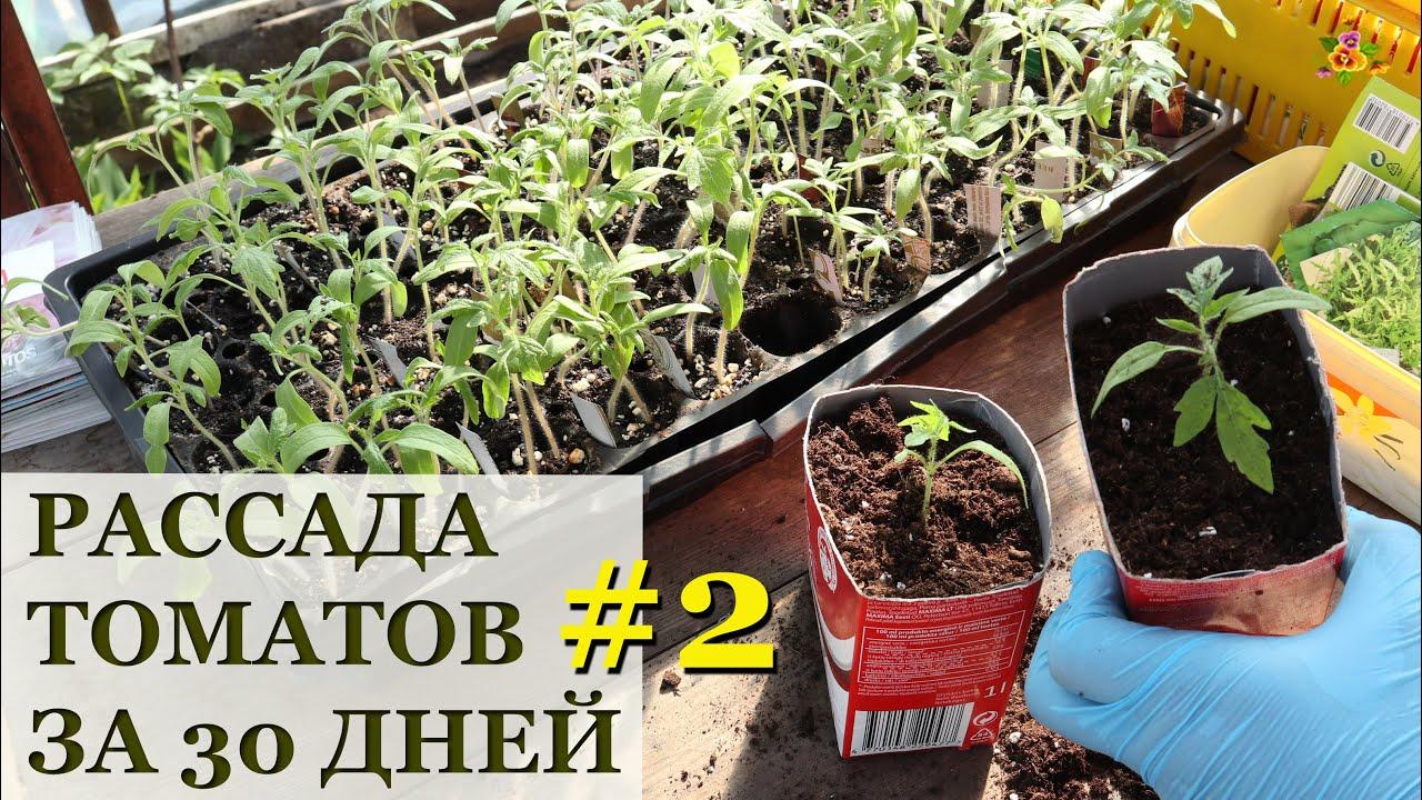 фото рассады томатов по дням