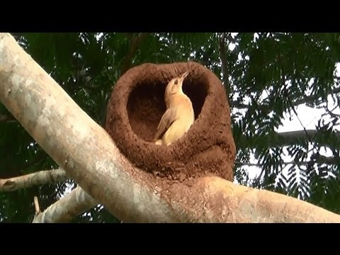 Bird Engineering, Rufous Hornero, bird building its nest, Furnarius rufus,