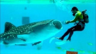ジンベイザメ**八景島シーパラダイス①現生最大軟骨魚類