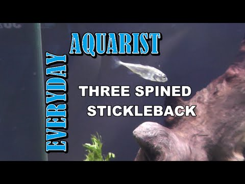 My Three Spined Stickleback (Gasterosteus Aculeatus)