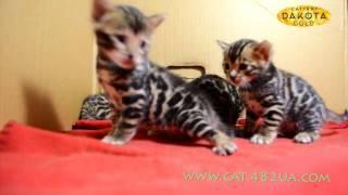 Будни питомника бенгальской кошки Dakota Gold   бенгальские котята растут и развиваются 38 день