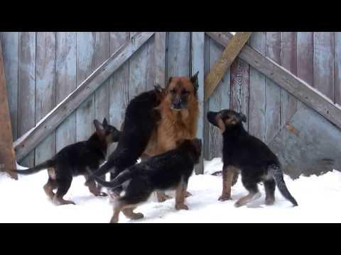 Дрессировка собак в Воронеже - YouTube