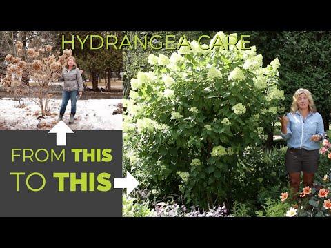 Post-pruning Hydrangea Update | Did They Survive? | The Impatient Gardener