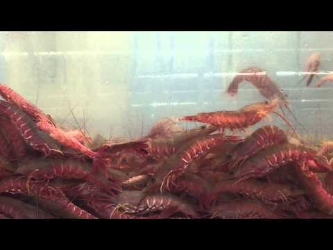 JUMPING LIVE PRAWNS SHRIMP TIGER thumbnail