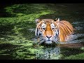 Tiger Attack Dream Meaning - YouTube