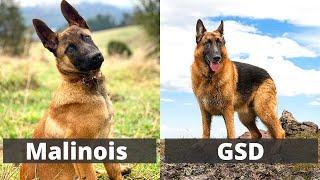 Belgian Malinois versus German Shepherd | Detailed Comparison between the two Elegant dog breeds