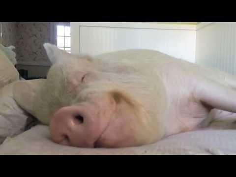 Ленивая свинья: видео приколы