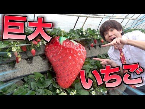 【新種】近所の農園で超巨大なイチゴが発見されるドッキリ