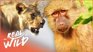 Valley Of The Golden Baboons [Monkey Documentary] | Wild Things