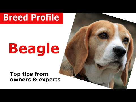Beagle dog breed advice