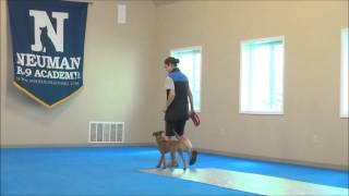 Roscoe (irish Terrier) Puppy Camp Training Demonstration