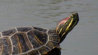 Черепахи горных озёр Крыма.