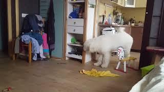 Кошка Мейн кун наказала собаку Комондора