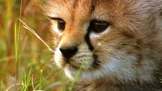 Little Big Cats Hides From Danger | BBC Earth