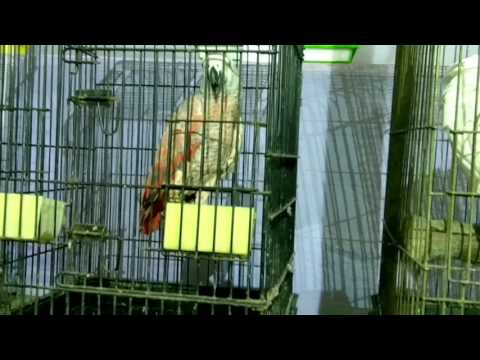 See African Red Parrot
