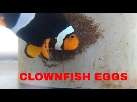 Clownfish Bertelur
