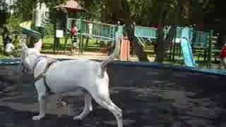 安琪拉大戰大耿耿(跳床遊戲)bull Terrier Jumper Game!!!