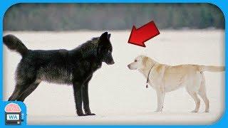 Das passiert, wenn ein wilder Wolf einen Hund trifft